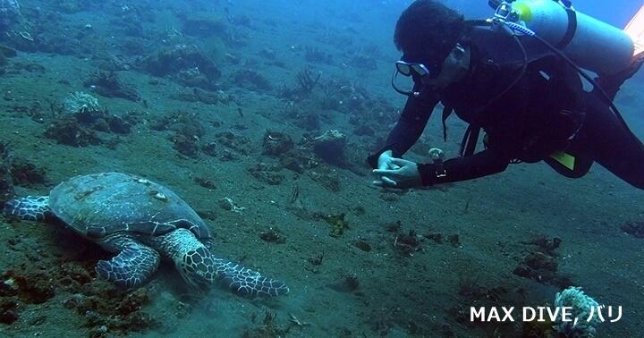 ウミガメ,タイマイ,バリ島トランベン