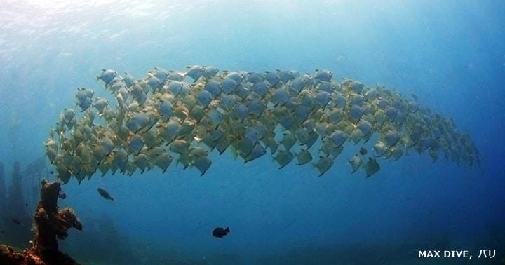 バリ島アメッド,ヒメツバメウオの群れ