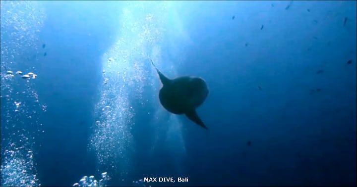 バリ島マンボウ・ダイビング