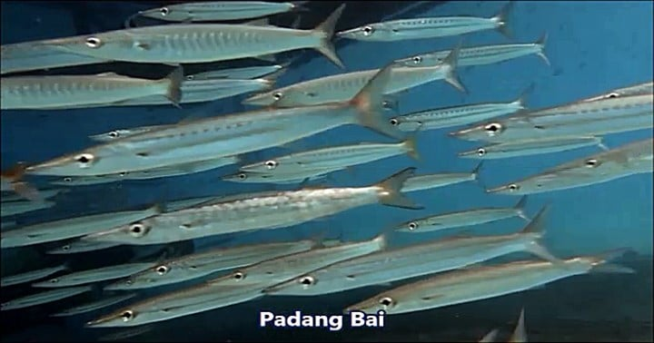 バリ島パダンバイ,バラクーダ,タイワンカマスの群れ
