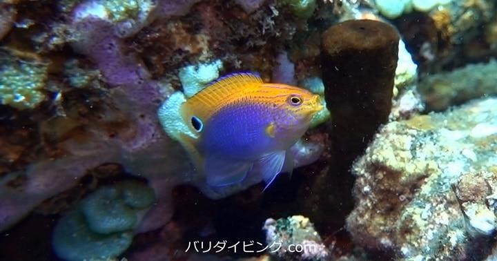 クロメガネスズメダイの幼魚、バリ島ダイビング,トランベン