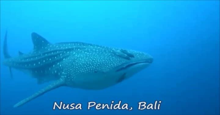 バリ島ヌサペニダでジンベイザメとダイビング