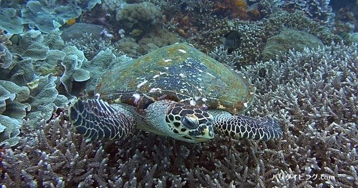 バリ島ダイビング,ウミガメ