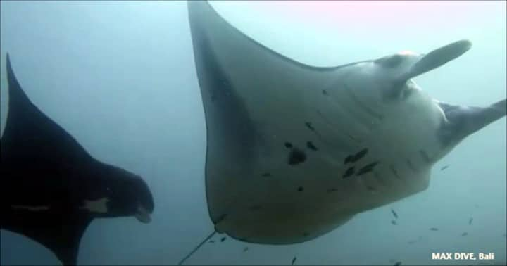 バリ島ヌサペニダでマンタ三昧のダイビング