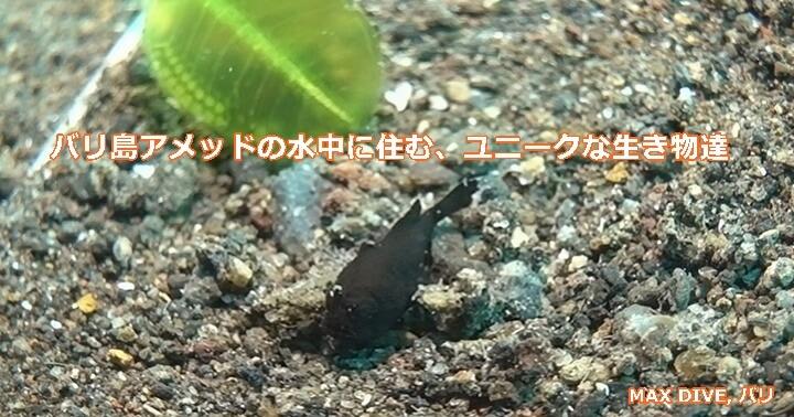 レンベフロッグフィッシュの幼魚