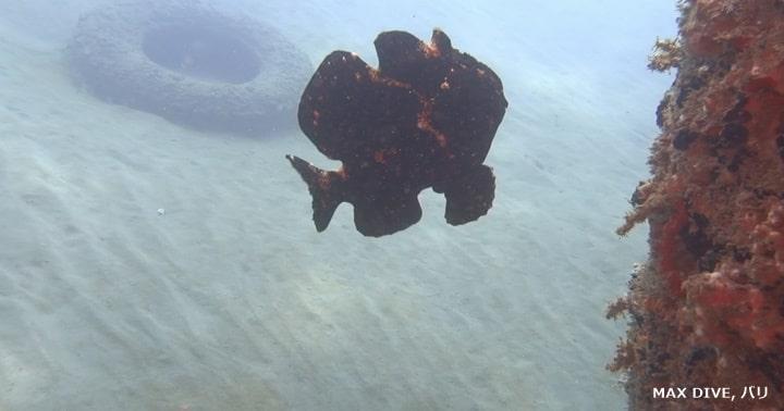 泳ぐオオモンカエルアンコウ,バリ島パダンバイ