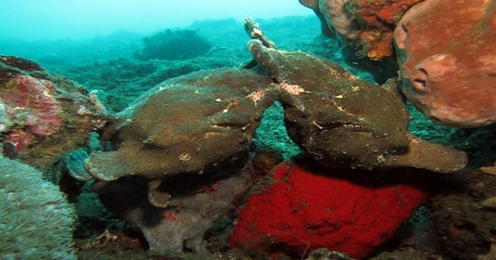 バリ島 パダンバイ 泳ぐカエルアンコウ
