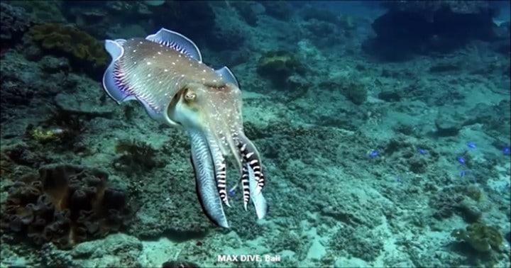 バリ島パダンバイに沢山のコブシメ