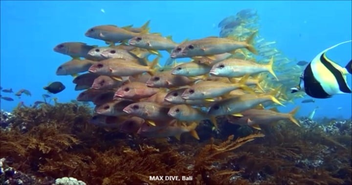 バリ島パダンバイ,アカヒメジの群れ