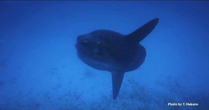 バリ島マンボウ,ダイビング
