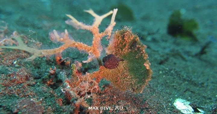 サザナミフグの幼魚,white spotted puffer fish juvenile,バリ島melasti