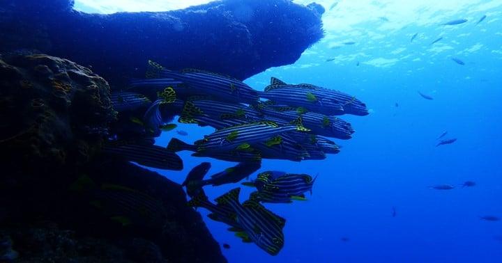 バリ島ダイビング,トランベンのムスジコショウダイ