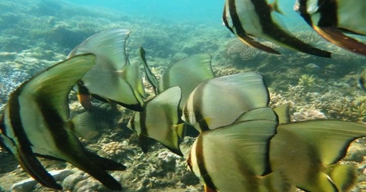bangka batfish