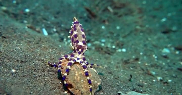 バリ島アメッド,melasti,オオマルモンダコ,blue-ringed octopus