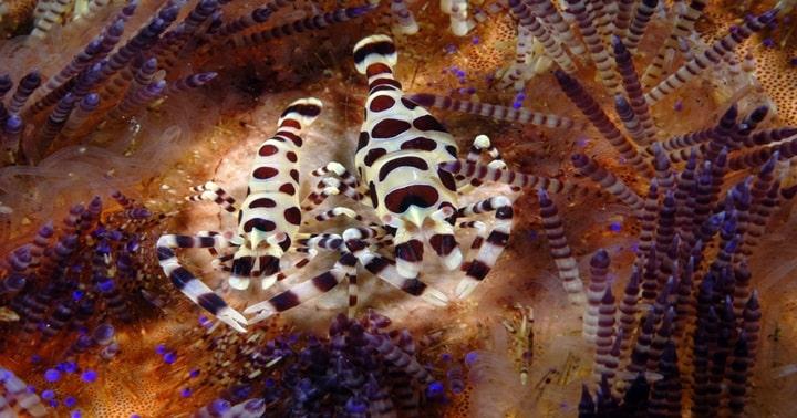 Colman Shrimp