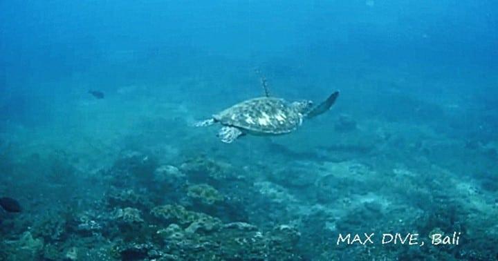 バリ島パダンバイで見たウミガメ