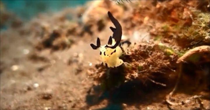 バリ島ダイビング,トランベン,ミズタマウミウシ属の一種5 thecacera sp 5