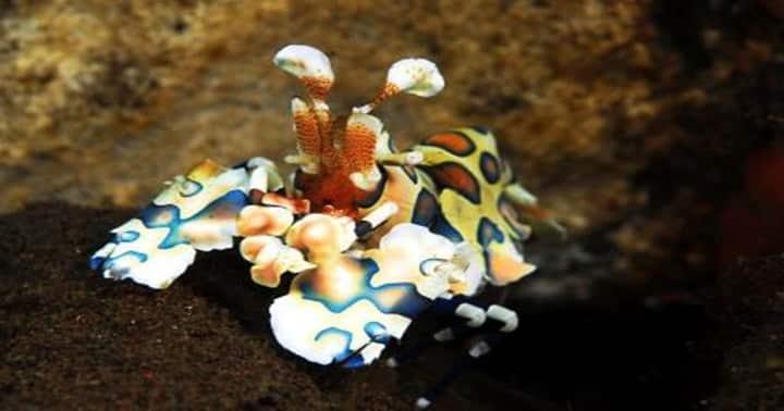 harlequin shrimp tulamben