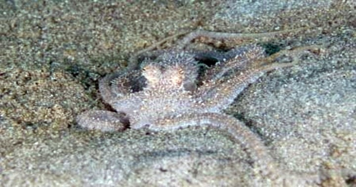 long armed octopus